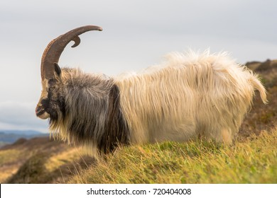 Male feral mountain goat with large horns. Long-haired billy goat at Brean Down in Somerset, part of a wild herd