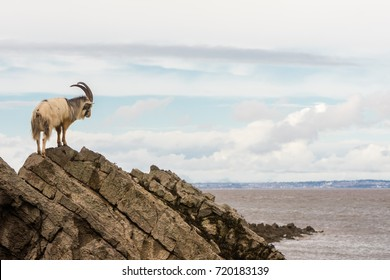 Male feral mountain goat on rocks above sea. Long-haired billy goat at Brean Down in Somerset, part of a wild herd