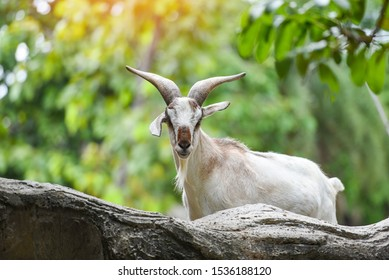 Male feral mountain goat walking on rocks / Goat with horns on a farm