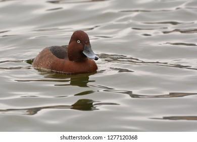 Male Ferruginous Duck swimming on grey waves of the Lake Kastoria, western Greece.