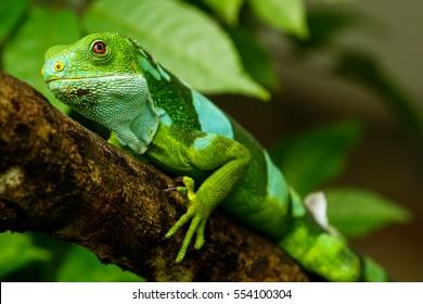 Male Fiji banded iguana (Brachylophus fasciatus) on Viti Levu Island, Fiji. It endemic to some of the southeastern Fijian islands.
