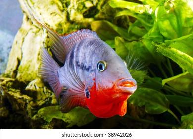 male fish cichlasoma meeki defends roe