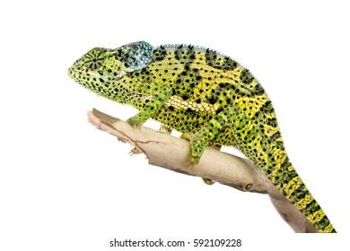 Male Flap Necked Chameleon - Chamaeleo dilepis