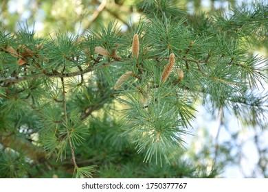 Male flower of the Himalayan cedar - Cedrus deodara.