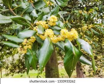 Male flowers of bay or true laurel, Laurus nobilis, growing in Galicia, Spain