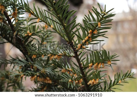 male flowers european yew taxus baccata stock photo edit now