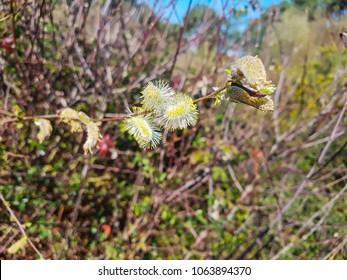 Male flowers of grey or gray willow Salix atrocinerea