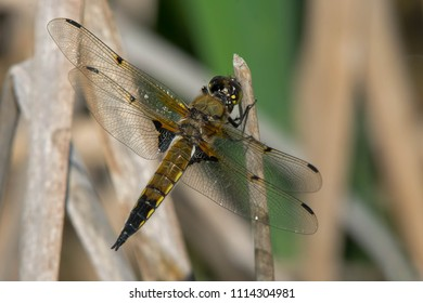 Male Four-spotted Skimmer Dragonfly perched on a dead reed. Carden Alvar Provincial Park, Kawartha Lakes, Ontario, Canada.