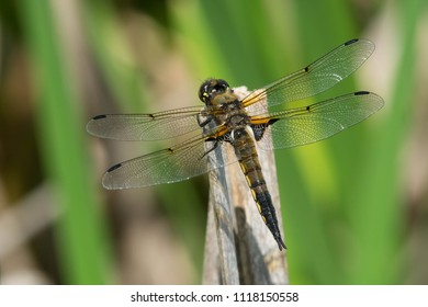 Male Four-spotted Skimmer Dragonfly perched on a dead reed. Also known as a Four-spotted Chaser. Carden Alvar Provincial Park, Kawartha Lakes, Ontario, Canada.