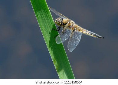 Male Four-spotted Skimmer Dragonfly perched on a blade of grass. Also known as a Four-spotted Chaser. Carden Alvar Provincial Park, Kawartha Lakes, Ontario, Canada.