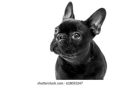 Male French Bulldog on white background