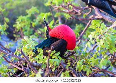 Male frigate perched on the tree branches with its inflated red craw