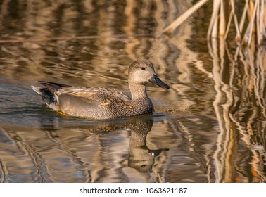 Male gadwall (Mareca strepera, formerly Anas strepera) swimming in pond, Magnuson Park, Seattle, on the first day of spring. The pond has reflections of vegetation still with brown winter appearance.