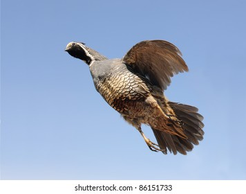 Male Gambel's Quai (Callipepia gambelli)  in flight