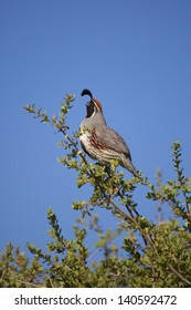 Male Gambel's Quail Calling Out