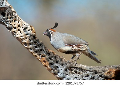 A male Gambel's Quail (Callipepla gambelii) feeds on the skeleton of a Cholla cactus in the Sonoran desert.