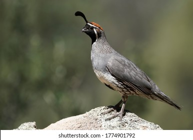 A male Gambels Quail finds a high point to stand watch as his family eats.