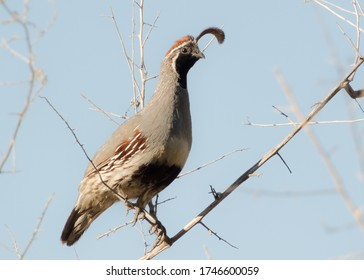 Male Gambel's Quail on Branch against Blue Sky