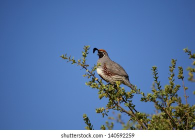 Male Gambel's Quail Perched in Tree
