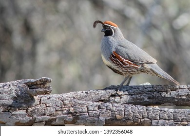 A male Gambel's Quail perching on a scorched tree trunk