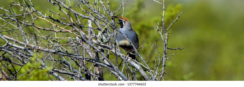 Male Gambel's Quail in a thorny bush in spring