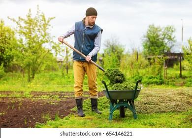 Male gardener is filling wheelbarrow with green grass using shovel at spring garden background.