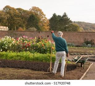 Male Gardener Leaning on a Wooden Rake with a Flowerbed of Dahlias in the Background on an Allotment in a Vegetable Garden in Somerset, England, UK