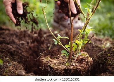 Male Gardener mulching a planting blackberry, gardening and garden care of plants