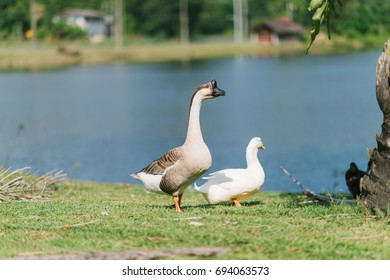 Male geese walking on grass