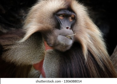 Male Gelada Baboon (Heropithecus gelada) sitting and watching. Baboon gelada is moving. Photo from animal´s world.