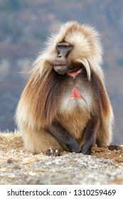 Male Gelada Baboon sitting - Simien Mountains National Park - Ethiopia