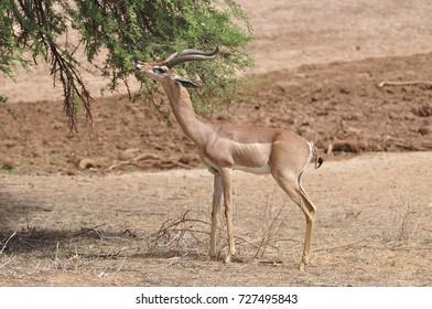 Male gerenuk eating from acacia