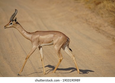 Male Gerenuk is walking on the loess road. Its profile and full-body portrait. Large numbers of animals migrate to the Masai Mara National Wildlife Refuge in Kenya, Africa. 2016.