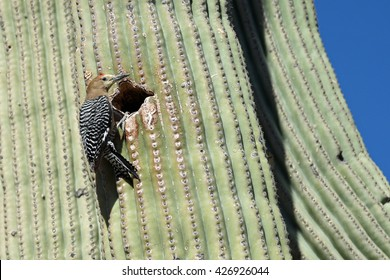 Male gila woodpecker at the entrance of its nest in a Saguaro cactus