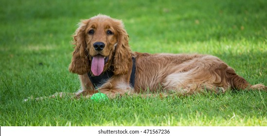 Male Golden Cocker Spaniel, lying on the grass in local park, Liverpool, England