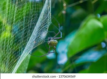 Male Golden Web Spider