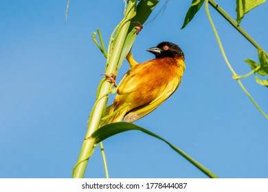 A male golden-backed weaver perches on a reed in Kranji Marshes, Singapore