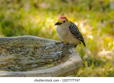 Male Golden-fronted Woodpecker (Melanerpes aurifrons) on birdbath slinging water drops.