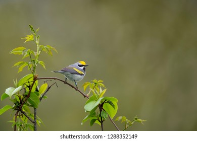 A male Golden-winged Warbler perched on branches at the top of young trees in soft overcast light with a smooth green background.