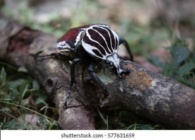 Male Goliath Beetle in Mabira Rain Forest Uganda 3