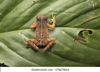 A male Gollum's toad (Ingerophrynus gollum)