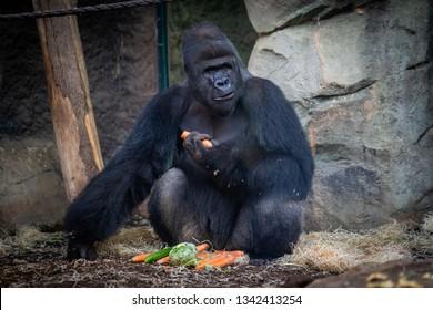 Male gorilla with food in Frankfurt Zoo