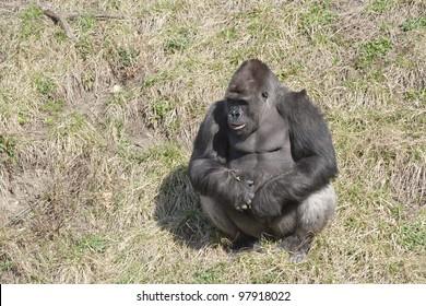 Male Gorilla Silverback.