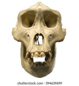 Male gorilla skull isolated on white