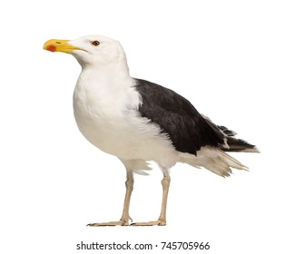 Male Great Black-backed Gull, Larus marinus, against white background