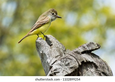 Male Great Crested Flycatcher perched at the top of a dead tree. High Park, Toronto, Ontario, Canada.