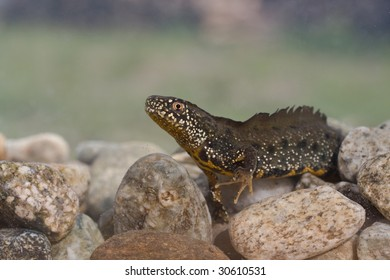 male of Great Crested Newt (Triturus cristatus) in water