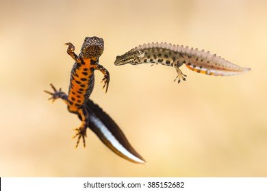 Male great crested newt (Triturus cristatus) and male smooth newt (Lissotriton vulgaris)