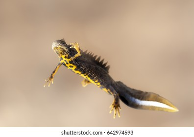 Male great crested newt (Triturus cristatus)