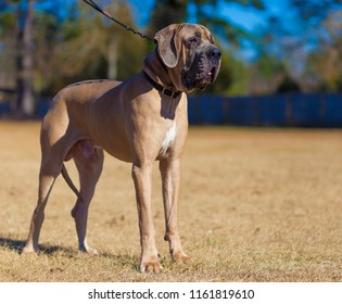 Male Great Dane with a brown coat standing on a field